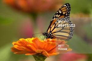 Monarch  88975103