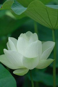 lotus  1bd53860b30b4ba9245ebfb882cb5b82