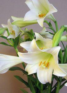 Easter lily  f1a8ac0a175003b9396d6b52db178e04