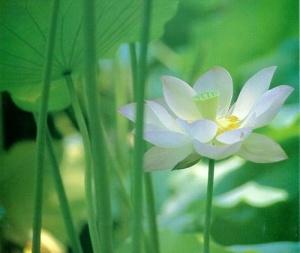 lotus  73dd6e5557afb702a4c295a5e9d66523
